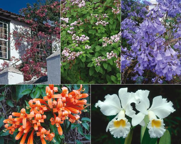 Plantas ornamentales de origen americano for Plantas ornamentales para colorear