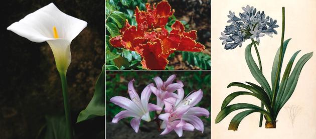 Plantas ornamentales de origen centro y sudafricano for Plantas ornamentales ejemplos y nombres